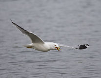 Picture with a gull flying with the opened bick Royalty Free Stock Photography