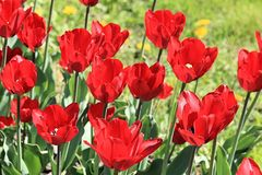 Picture of happiness from scarlet tulips on the background of a fun green lawn royalty free stock image
