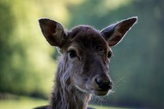 Fallow deer head. A picture of the head of a fallow deer with a blurry background of a forest. The picture is taken in the summer royalty free stock photos