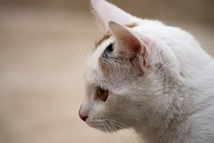 Head of a white cat Royalty Free Stock Images