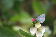 Picture of a Holy blue butterfly on a food plant. A picture of a Holy blue butterfly (Celalstrina argiolus) sipping nectar from a purple flower Royalty Free Stock Photo