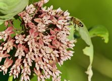 Picture with a honeybee flying near flowers Stock Photos