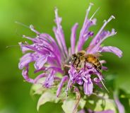 Picture with a honeybee sitting on flowers Royalty Free Stock Images