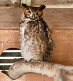 A Horned Owl. This is a picture of a Horned Owl at the Seaside Seabird Sanctuary located in Indian Shores in Pinellas County. This picture was taken on January stock photography