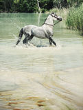Picture of the horse in the pool Stock Photography