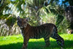 Tiger cub staring at me royalty free stock image