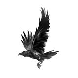 Picture isolated flying black crow. Art isolated flying black crow royalty free stock photo