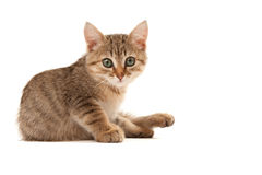 Picture of kitten isolated on white Royalty Free Stock Images