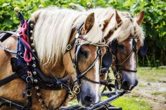 Horses pulling a carriage. A picture of large beautiful horses pulling a carriage Stock Images
