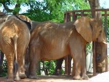 Elephant. A picture of a large elephantn Stock Photos