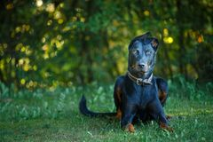 Black and tan Doberman pintcher laying outside stock photo