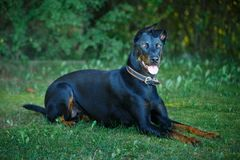 Black and tan Doberman pintcher laying outside stock photography