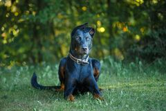 black and tan Doberman pintcher laying outside royalty free stock images