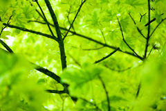 Picture of leaves Royalty Free Stock Image