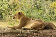 Lion. A picture of a lion Stock Image