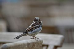 Little sparrow perching on a chair. Picture of a little sparrow perching on a chair in a restaurant Royalty Free Stock Photos