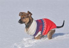 A sweet puppy playing in the snow Stock Image