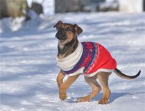A sweet puppy playing in the snow Royalty Free Stock Images