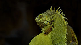 Picture of a lizard, nature, europe Royalty Free Stock Images