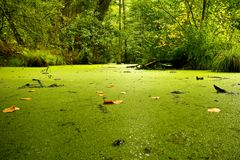 Green lonely forest swamp royalty free stock photo