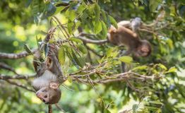 Picture of the Macaque Rhesus babies Royalty Free Stock Photography