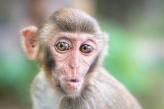 Picture of the Macaque Rhesus babiy wondering Stock Photos