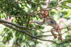 Picture of the Macaque Rhesus baby Royalty Free Stock Photography