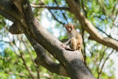Picture of the Macaque Rhesus baby Royalty Free Stock Photos