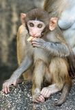 Picture of the Macaque Rhesus baby eating Stock Photos