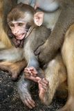 Picture of the Macaque Rhesus baby showing teeth Stock Image