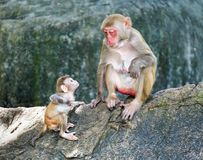 Picture of the Macaque Rhesus family Royalty Free Stock Photography