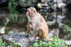 Picture of the Macaque Rhesus family Royalty Free Stock Image