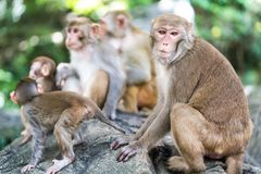 Picture of the Macaque Rhesus family Stock Images