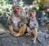 Picture of the Macaque Rhesus family Royalty Free Stock Images