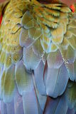 Macaw feathers. A picture of macaw feathers stock images