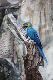 Blue-and-yellow macaw. A picture of a macaw perched on a tree Stock Photo