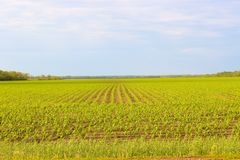 Smooth rows of planted crops. Green field royalty free stock photos