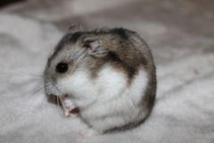 Feeding A Hamster ll Royalty Free Stock Images