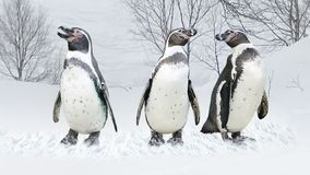 What are they saying? Penguins in the snow royalty free stock image