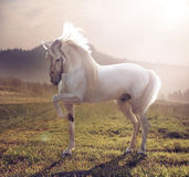Picture of majestic white horse Stock Image