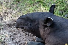 Malayan tapir. Picture of a Malayan tapir stock image