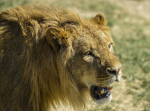 Picture of a male lion. In safari park stock photos