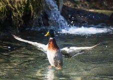 Picture of a mallard duck. Mallard Duck in winter at a german deer park Royalty Free Stock Photo