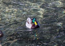 Picture of a mallard duck Stock Photography