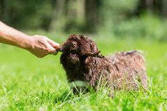 Man`s hand with a stick plays with a Havanese dog. Picture of a man`s hand with a stick that plays with a Havanese dog Stock Images