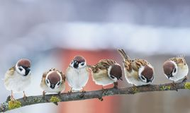 picture many funny little birds sparrows on a branch in the garden on a clear day stock photos
