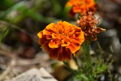 Mexican / Aztec Marigold in Bloom royalty free stock photos