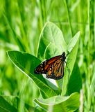 Monarch Butterfly: Wings Closed. This is a picture of a Monarch Butterfly with wings closed in the Montrose Point Bird Sanctuary located in Chicago, Illinois in royalty free stock image