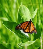 Monarch Butterfly: Wings Open. This is a picture of a Monarch Butterfly with wings open in the Montrose Point Bird Sanctuary located in Chicago, Illinois in Cook stock photo