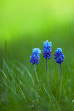 Picture of muscari with green grass Royalty Free Stock Image